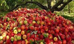 ۱۹۰ تا ۲۰۰ هزار تن سیب درختی از باغهای دامنه دنا و زاگرس سمیرم برداشت می شود